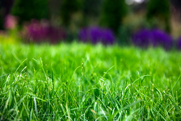 Wall Mural - green grass with garden flowers in spring