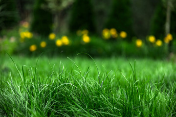 Wall Mural - green grass with yellow flowers on background, spring garden
