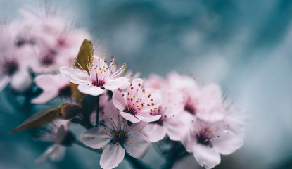 Closeup of spring blossom flower on dark bokeh background. Macro cherry blossom tree branch