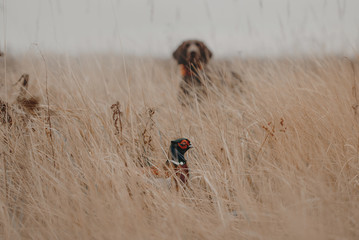 pheasant bird hiding from a hunting dog Fototapete