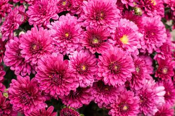 Poster Rose Dark pink multiflora chrysanthemum - solid floral background