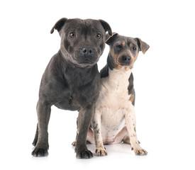 Fototapete - brazilian terrier and staffy