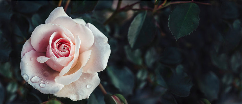 Fine art image of beautiful pastel roses in dark garden. Valentine and bridal vintage card design.
