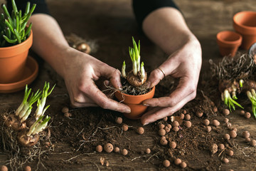 Woman gardeners transplanting plant in ceramic pots on the old wooden table. Concept of home garden. Spring time. Blossom. Stylish interior with a lot of plants. Taking care of home plants. Template.