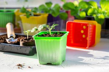 Obraz Tomato seedling in colorful plastic pots. Gardening concept. - fototapety do salonu