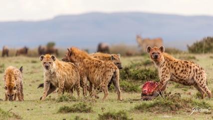 Papiers peints Hyène Manada de hienas devorando a sus presas