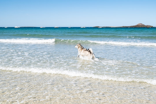 Malamute or Husky dog playing in the waves of a large beach in Brittany in summer