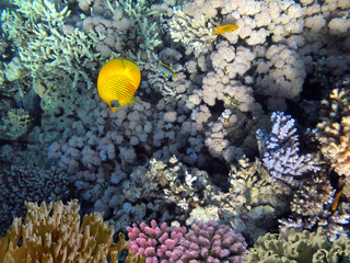 Wall Mural - Wonderful and beautiful underwater world with corals and tropical fish.Red Sea