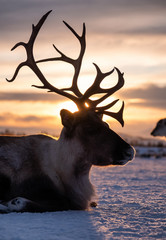 Obraz Silhouette of deer in the snow during sunset. Animal in wildlife. Winter landscape during sunset with deer. Tromso, Norway - travel - fototapety do salonu