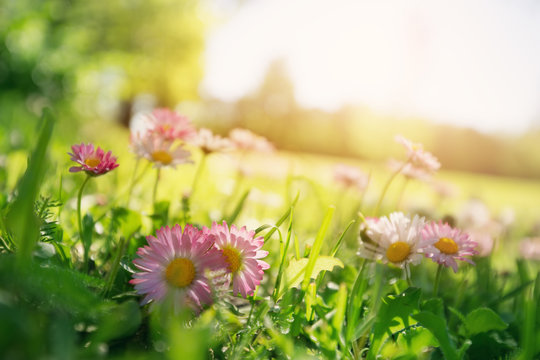 Meadow with lots of white and pink spring daisy flowers
