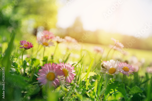 Wall mural Meadow with lots of white and pink spring daisy flowers