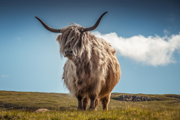 Highlander cow with the hair moved by the wind, Scotland. Concept: Scottish landscapes, typical farm animals, journey to Scotland