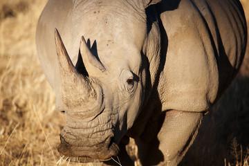 Foto op Aluminium Neushoorn White rhino in Namibia