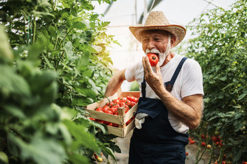 Happy and smiling senior man working in greenhouse.