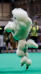 A Standard Poodle jumps after competing on the first day of the Crufts Dog Show in Birmingham