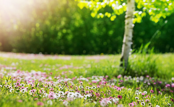 Meadow with lots of white and pink spring daisy flowers in sunny day