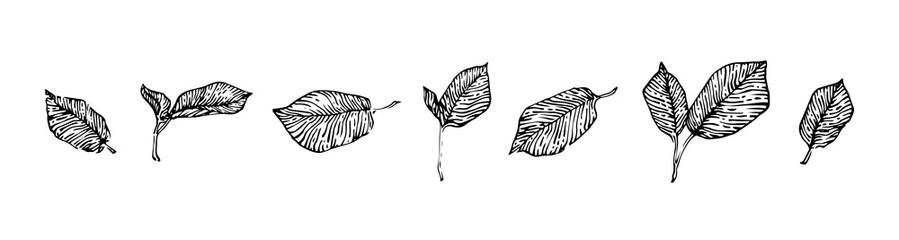 Hand drawn hazel leaves set, ink drawing sketch vector illustration, black isolated botanical illustration on white background Wall mural