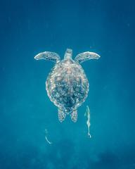 sea turtle on blue background