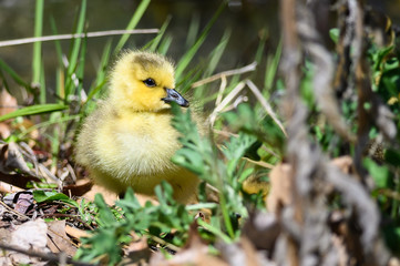 Wall Mural - Newborn Gosling Resting Quietly on the Soft Green Grass