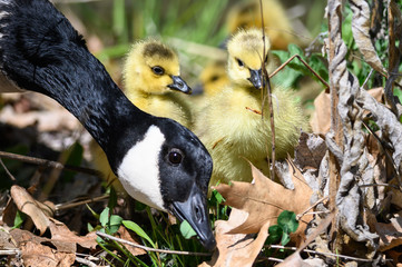 Wall Mural - Newborn Goslings Learning Under the Watchful Eye of Mother