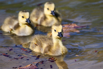 Wall Mural - Adorable Newborn Goslings Learning to Swim in the Refreshingly Cool