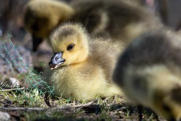 Fototapete - Newborn Gosling Resting Quietly on the Soft Green Grass