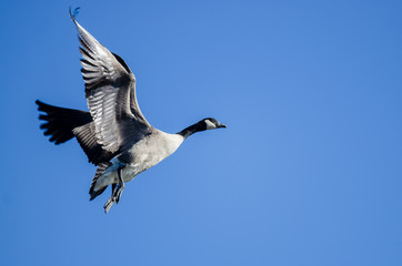 Fototapete - Lone Canada Goose Flying in a Blue Sky