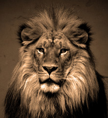 Male lion: Highly distinctive, the male lion is easily recognized by its mane, and its face is one...