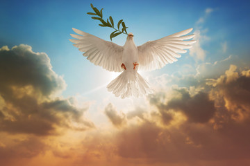 Wall Mural - White Dove carrying olive leaf branch on Beautiful light and lens flare .Freedom concept and international day of peace