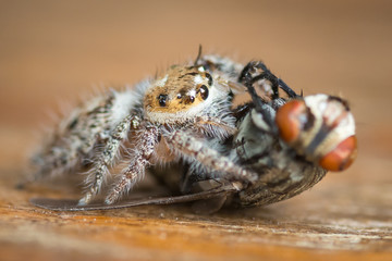 A jumping spider catching and eating it's prey