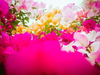 Poster Rose The beauty of the Bougainvillea flowers Variety of colors