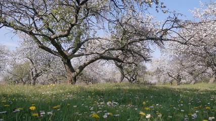 壁紙(ウォールミューラル) - Idyllic view of garden with blooming apple trees on a sunny day.