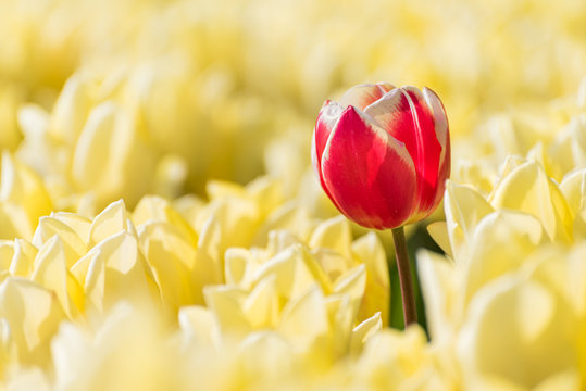 A single red tulip growing in a field full of yellow tulips