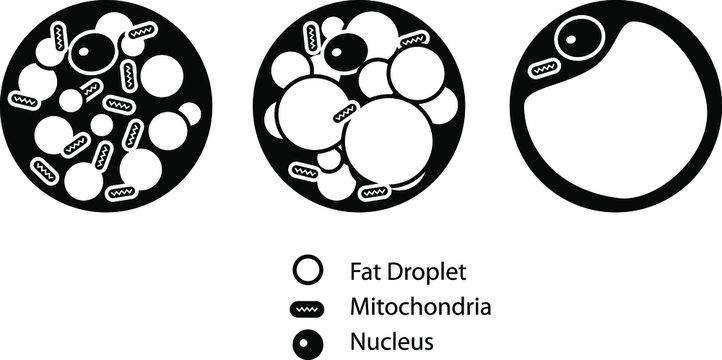 Brown Beige And White Fat Cells icon