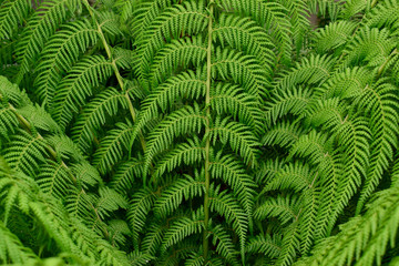 beautiful fresh green leaves of Cyathea dealbata or silver fern tropical plant background use for your design or nature concept. Leaf is the main organs of photosynthesis and transpiration.