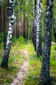 Forest landscape with birches, pines and path. Selective focus