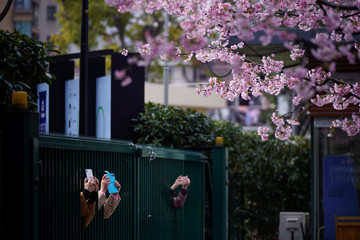 People take pictures of blooming cherry blossoms outside an entrance of a closed park as the country is hit by an outbreak of the novel coronavirus, in Shanghai