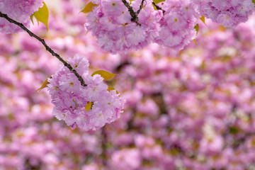 blossoming cherry tree background