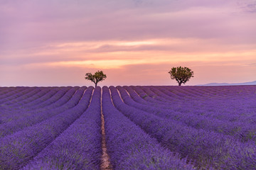 Panoramic view of French lavender field at sunset. Sunset over a violet lavender field in Provence, France, Valensole. Summer nature landscape