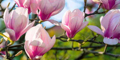 Papiers peints Magnolia blossom of magnolia tree