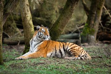 Photo sur Plexiglas Tigre Portrait of a tiger in the forest