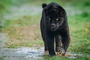 Foto auf AluDibond Puma Portrait of a black jaguar in the forest