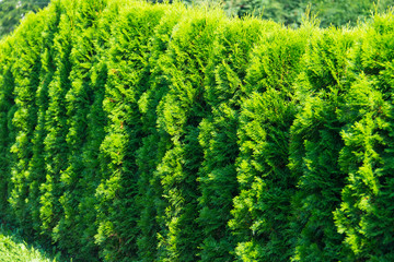 Close up of green thuja trees growing in a row. Hedge made of of thujas Wall mural