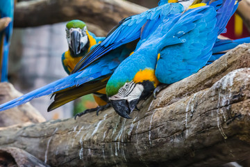 Photo sur Toile Perroquets Large and colorful macaw parrot