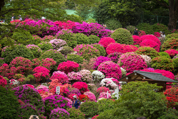 Photo sur Aluminium Azalea beautiful blooming azalea flowers garden in tokyo