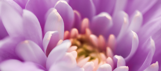 Photo sur Aluminium Fleur Blooming chrysanthemum or daisy flower, close-up floral petals as botanical background