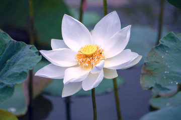 Wall Murals Water lilies White water lily flower blooming in the pond.
