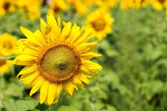 sunflower on summrer time