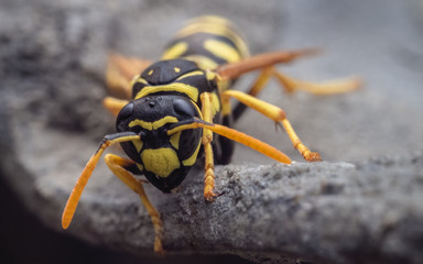 A closeup macro picture of a wasp sitting on a stone.