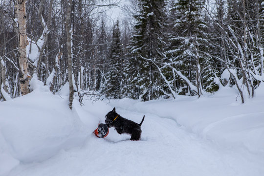 Young scottish terrier dog is playing with a red basketball ball in the winter on snow.